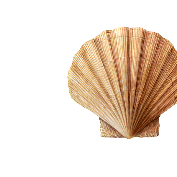 St-Jakobsschelp